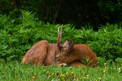 Un varón Roe Deer, sueño del capreolus del Capreolus y descansar una madrugada foto de archivo
