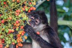 Un varón salvaje del mono de araña que come las nueces de betel en una palmera del betel Imagen de archivo