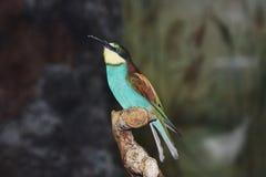 Un varicoloured piccolo uccellino Immagini Stock Libere da Diritti