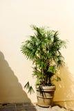 Un vaso con una palma nana sta alla parete gialla Il sole è brillantemente brillante Fotografie Stock Libere da Diritti
