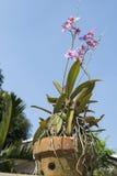 Un vaso del fiore dell'orchidea con il fondo del cielo blu Fotografie Stock