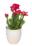 Un vaso di fiore con una pianta del cotiledone della crassula Fotografie Stock