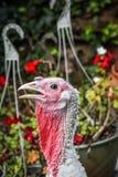 Un vasto Breasted Turchia bianca, diaspro, GA, U.S.A. fotografie stock