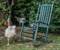 Un vasto Breasted Turchia bianca, diaspro, GA, U.S.A. immagine stock
