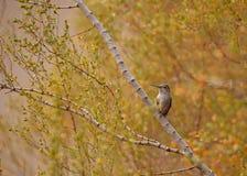 Un vasto colibrì munito femminile si appollaia in cespuglio con verde e foglie di autunno dell'oro nei precedenti immagine stock