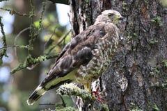 Un vasto falco alato si siede su un ramo di albero attillato fotografia stock libera da diritti