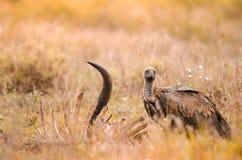 Un vautour à dos blanc juvénile solitaire gyps la position d'africanus dans l'herbe Parc national de Kruger, Afrique du Sud photos libres de droits