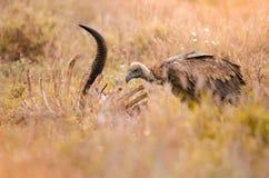 Un vautour à dos blanc solitaire nettoyant sur la carcasse en parc national de Kruger, Afrique du Sud photographie stock libre de droits