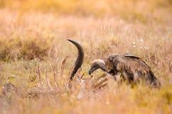 Un vautour à dos blanc solitaire nettoyant sur la carcasse, parc national de Kruger, une réservation de jeu en Afrique du Sud image libre de droits