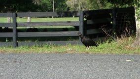 Un vautour à l'ocala, la Floride banque de vidéos
