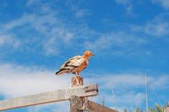 Un vautour égyptien, zone protégée de plage d'Aomak, île d'île de Socotra, Yémen Photographie stock libre de droits