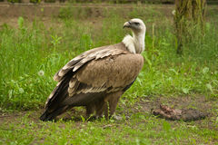 Un vautour de griffon images libres de droits