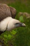 Un vautour de griffon Photographie stock