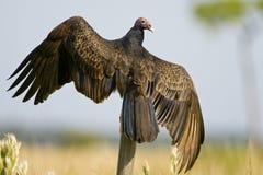 Un vautour de Turquie été perché Photo stock