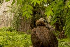 Un vautour moine sur le fond Photographie stock