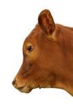 Un veau brun Photographie stock