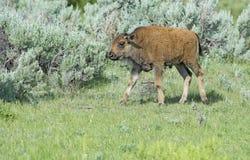 Un veau de bison de bébé suit après maman. photos libres de droits