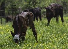 Veau et vaches au printemps Photo stock