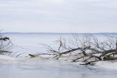 Un vecchio albero caduto sulla banca del fiume di inverno Fotografie Stock Libere da Diritti