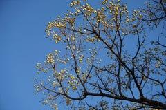 Un vecchio albero con molti frutti selvaggi in autunno Fotografia Stock Libera da Diritti