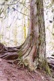 Un vecchio albero curvo alto spesso in una foresta fotografia stock