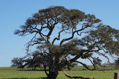Un vecchio albero sotto cielo blu fotografia stock