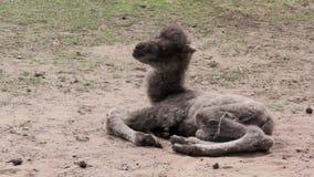 Un vecchio cammello neonato ed altro di due giorni archivi video