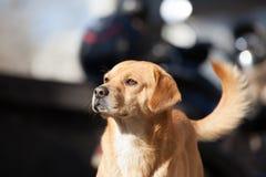 Un vecchio cane con gli occhi costanti Fotografia Stock Libera da Diritti