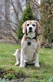 Un vecchio cane del cane da lepre Fotografia Stock
