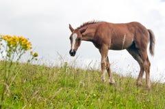 Un vecchio cavallo pasce su un pendio di collina fotografie stock libere da diritti