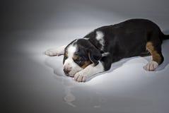 Un vecchio cucciolo finlandese del segugio da 3 settimane sul backgro bianco Fotografia Stock