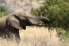 Un vecchio elefante che passa in rassegna sui fogli dell'albero Fotografia Stock Libera da Diritti