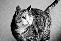 Un vecchio gatto dell'occhio che posa davanti al macchina-nero e bianco Immagini Stock