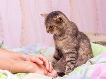 Un vecchio gatto si siede vicino alla sua padrona ed esamina il suo hands_ fotografie stock