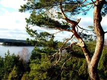 Un vecchio pino 1 Fotografie Stock Libere da Diritti