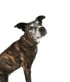 Un vecchio pitbull Fotografie Stock Libere da Diritti