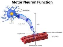 Un vector de la función de la neurona de motor ilustración del vector