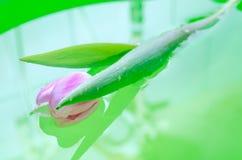 Un verde dell'acqua del tulipano Fotografia Stock