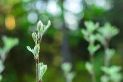 Un verde non sviluppato eppure foglia su un ramo Immagine Stock Libera da Diritti