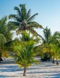Un verger de jeunes palmiers dans le sable photo stock