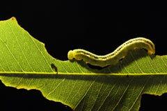 Un verme sulla foglia verde Fotografia Stock Libera da Diritti