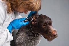 Un veterinario con un otoscopio examina el oído de un perro imagen de archivo