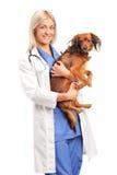 Un veterinario de sexo femenino sonriente que sostiene un perrito Foto de archivo libre de regalías