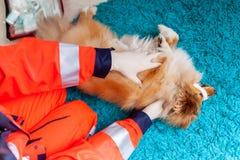 Un veterinario di emergenza tratta un piccolo cane pastore di Shetland fotografia stock libera da diritti