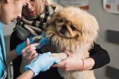 Un veterinario esamina una zampa ferita di un cane fotografia stock