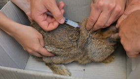 Un veterinario hace una inyección de un conejo, vacunación contra una enfermedad metrajes