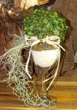 Un vetro con il tyllandsia una pianta verde come decorazione creativa della tavola Immagine Stock