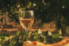 Un vetro del vino bianco nella vigna di autunno Fotografie Stock