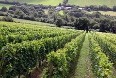 Un viñedo del vino Fotos de archivo libres de regalías