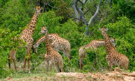 Un viaggio della giraffa che mangia prima colazione nel primo mattino Fotografia Stock